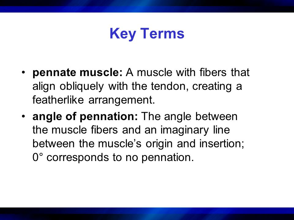 Key Terms pennate muscle: A muscle with fibers that align obliquely with the tendon, creating a featherlike arrangement.