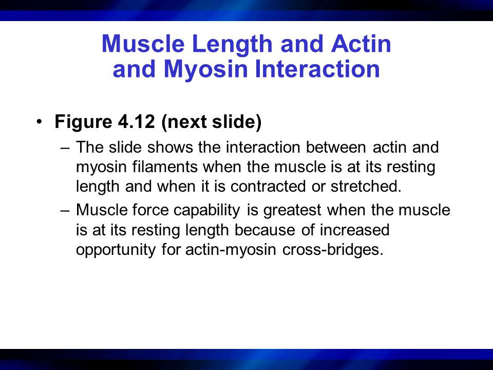 Muscle Length and Actin and Myosin Interaction