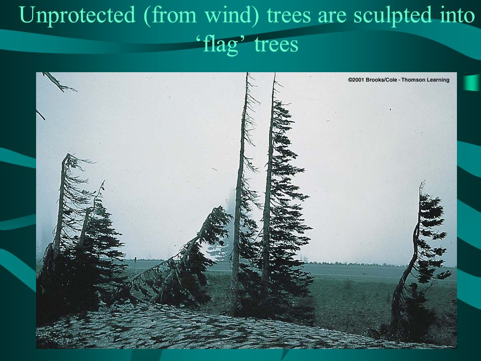 Unprotected (from wind) trees are sculpted into 'flag' trees