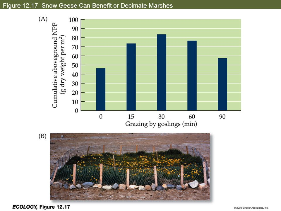 Figure 12.17 Snow Geese Can Benefit or Decimate Marshes