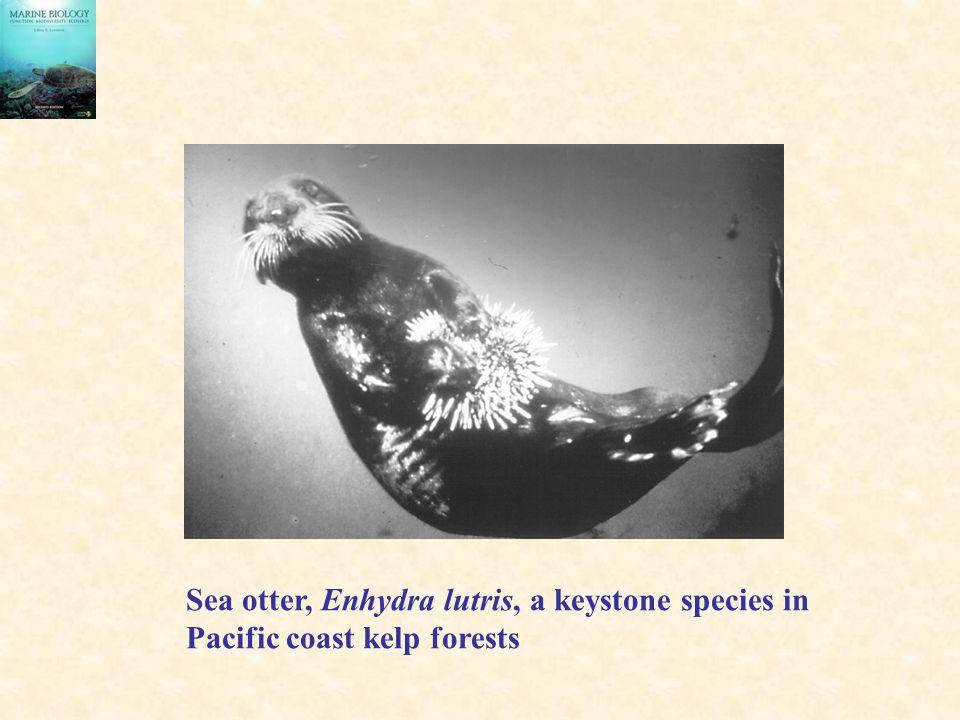 Sea otter, Enhydra lutris, a keystone species in