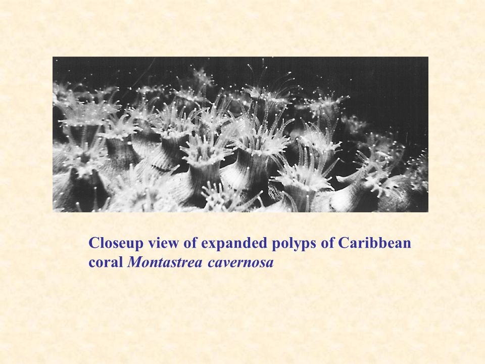 Closeup view of expanded polyps of Caribbean