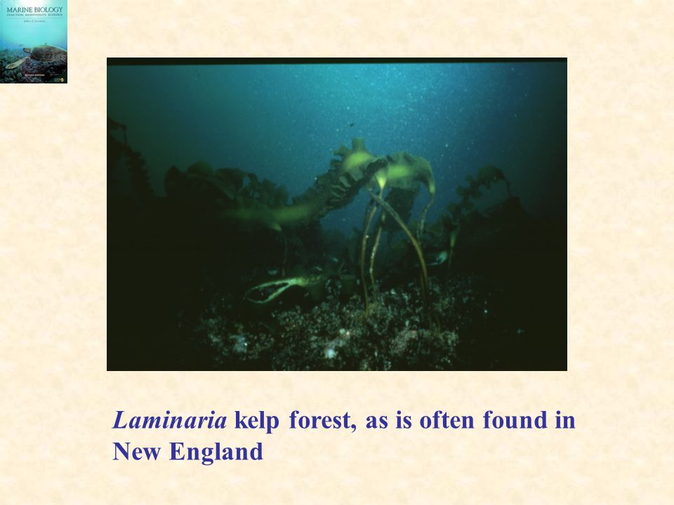 Laminaria kelp forest, as is often found in