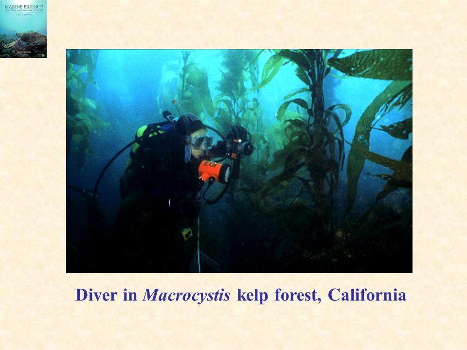 Diver in Macrocystis kelp forest, California