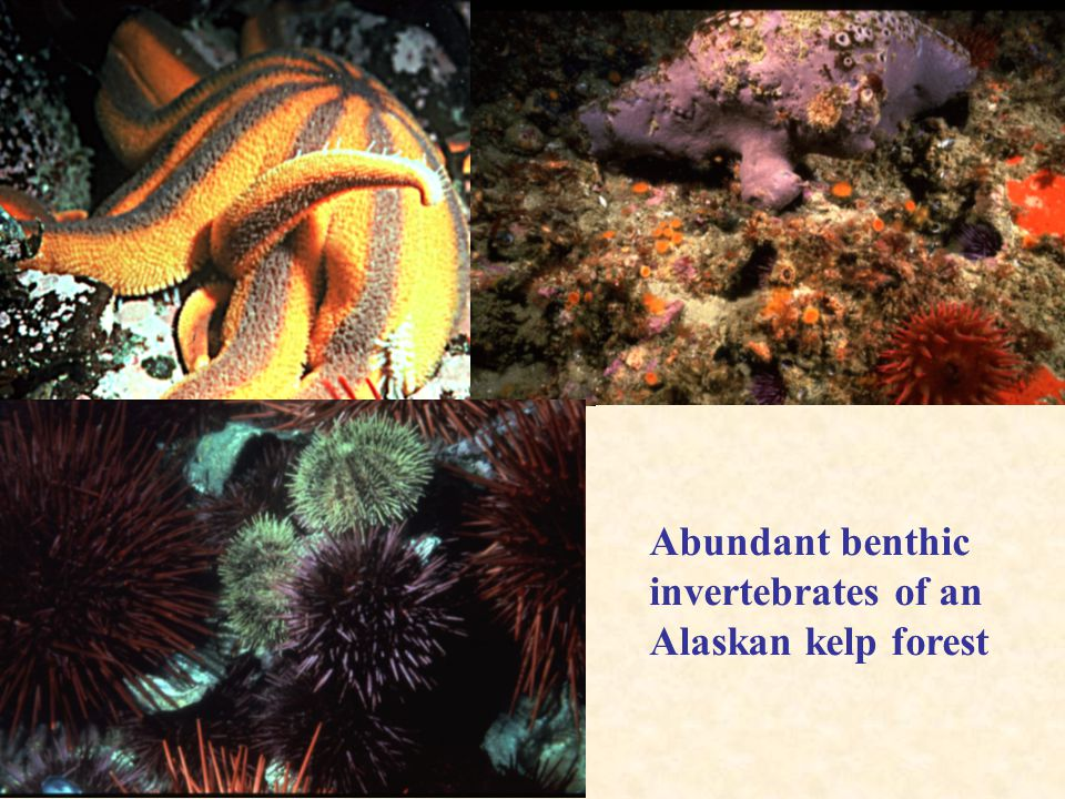 Abundant benthic invertebrates of an Alaskan kelp forest
