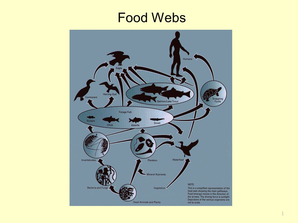 Food Webs Chapter 17