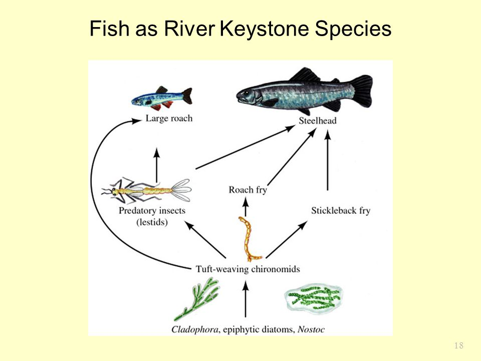 Fish as River Keystone Species