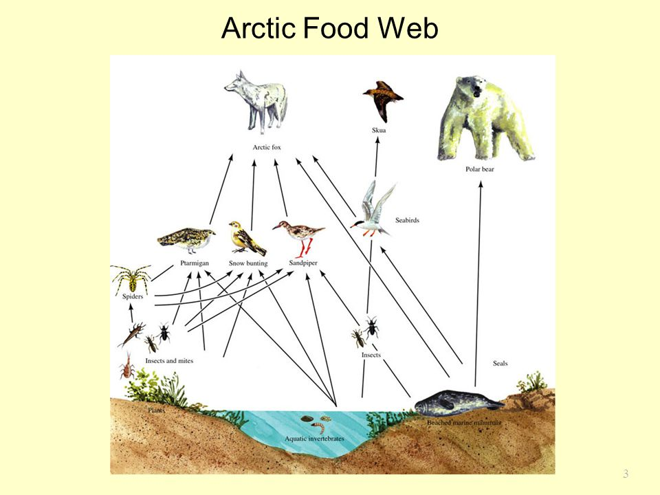Arctic Food Web