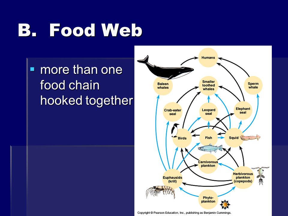 B. Food Web more than one food chain hooked together