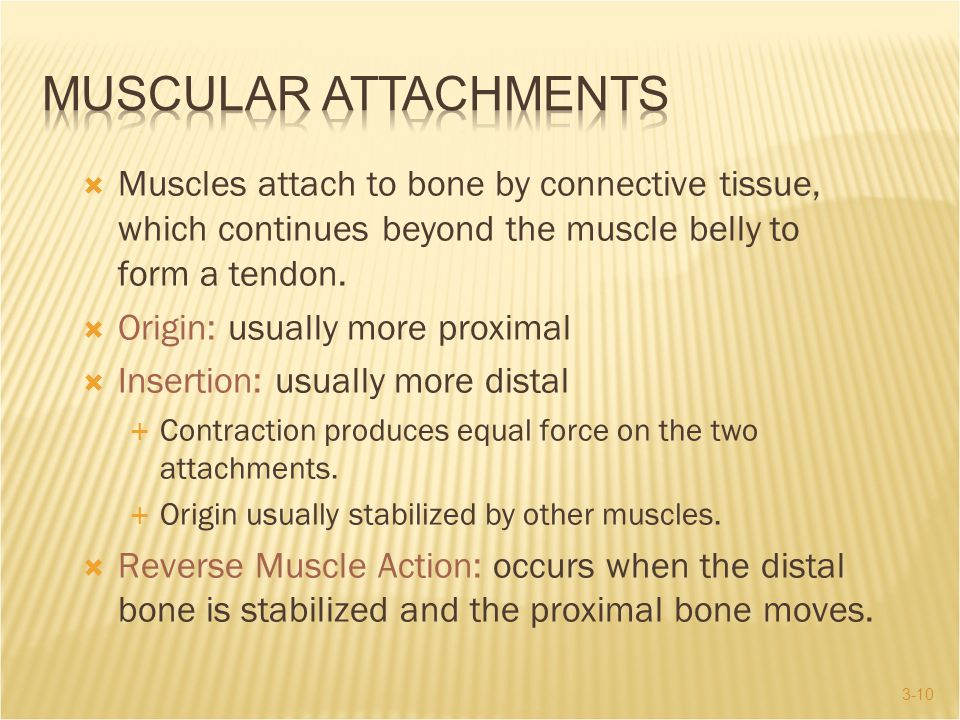Muscular Attachments Muscles attach to bone by connective tissue, which continues beyond the muscle belly to form a tendon.