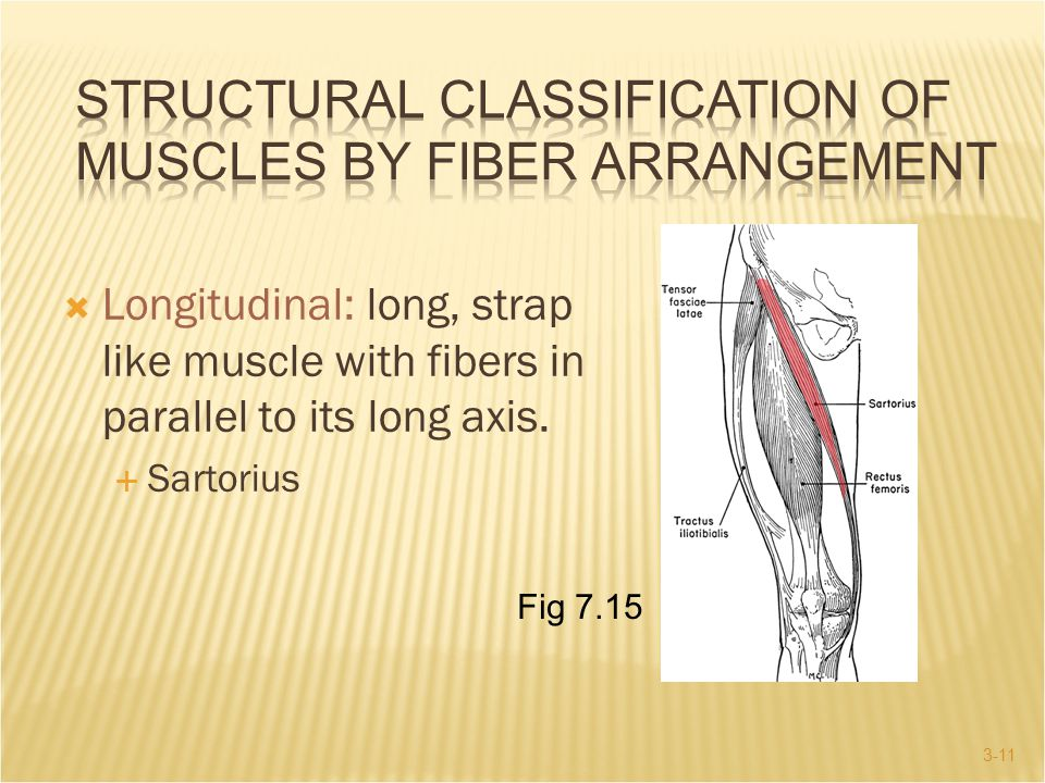 Structural Classification of Muscles by Fiber Arrangement