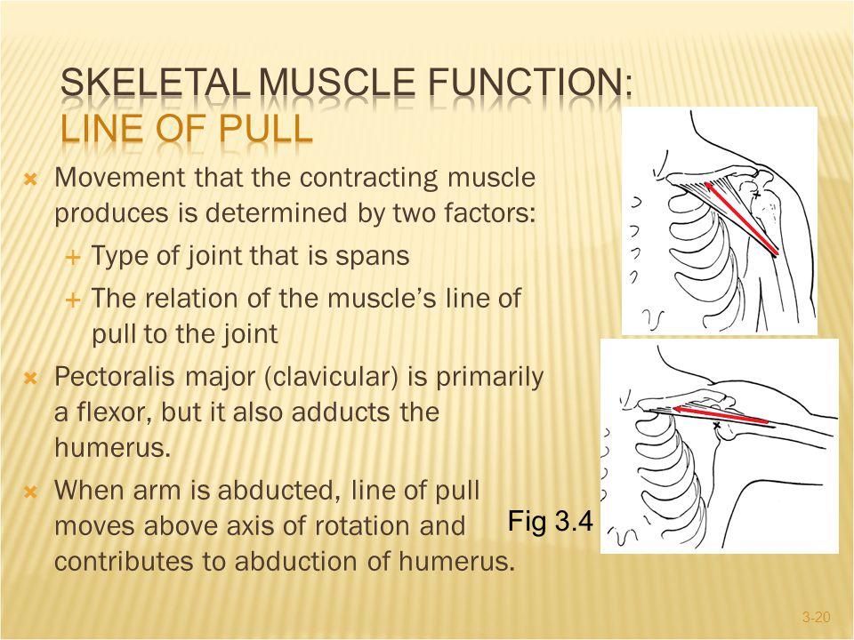 SKELETAL MUSCLE FUNCTION: Line of Pull