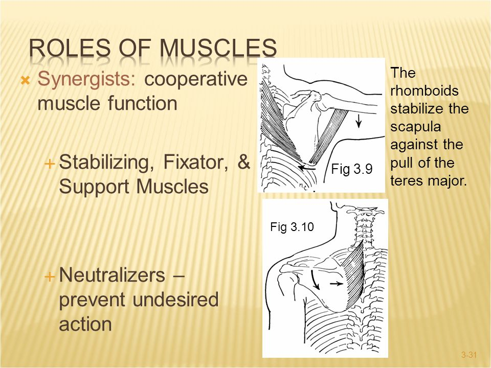 Roles of Muscles Synergists: cooperative muscle function