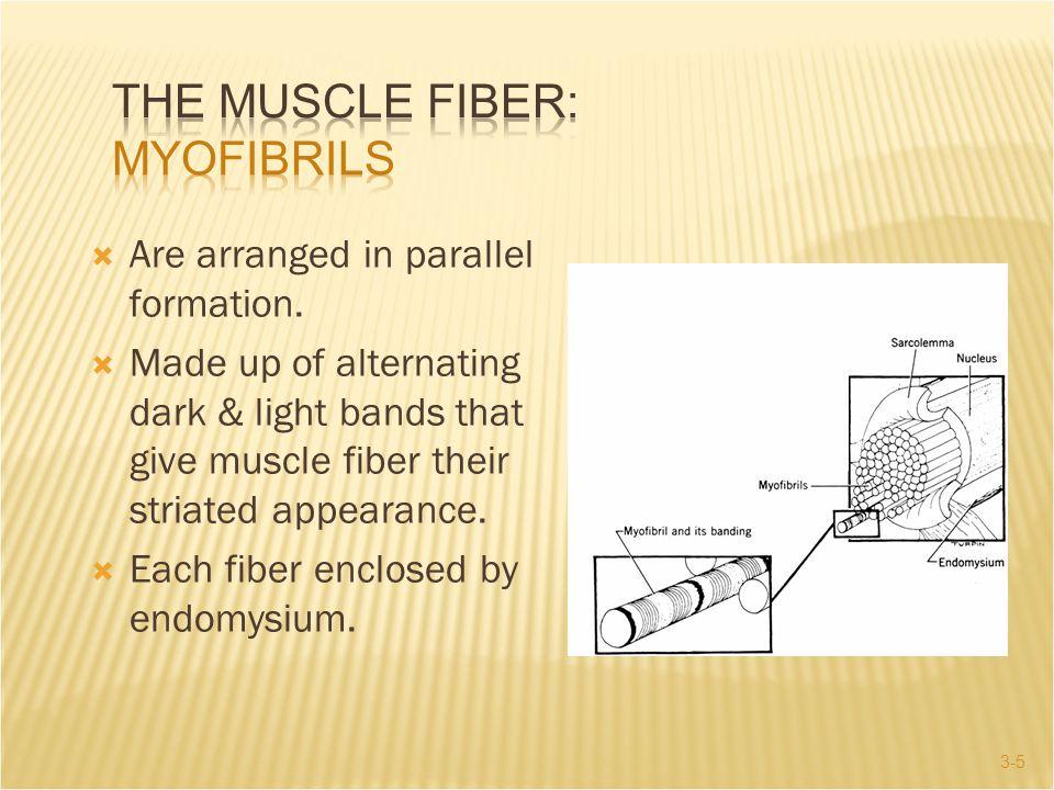 The Muscle Fiber: Myofibrils