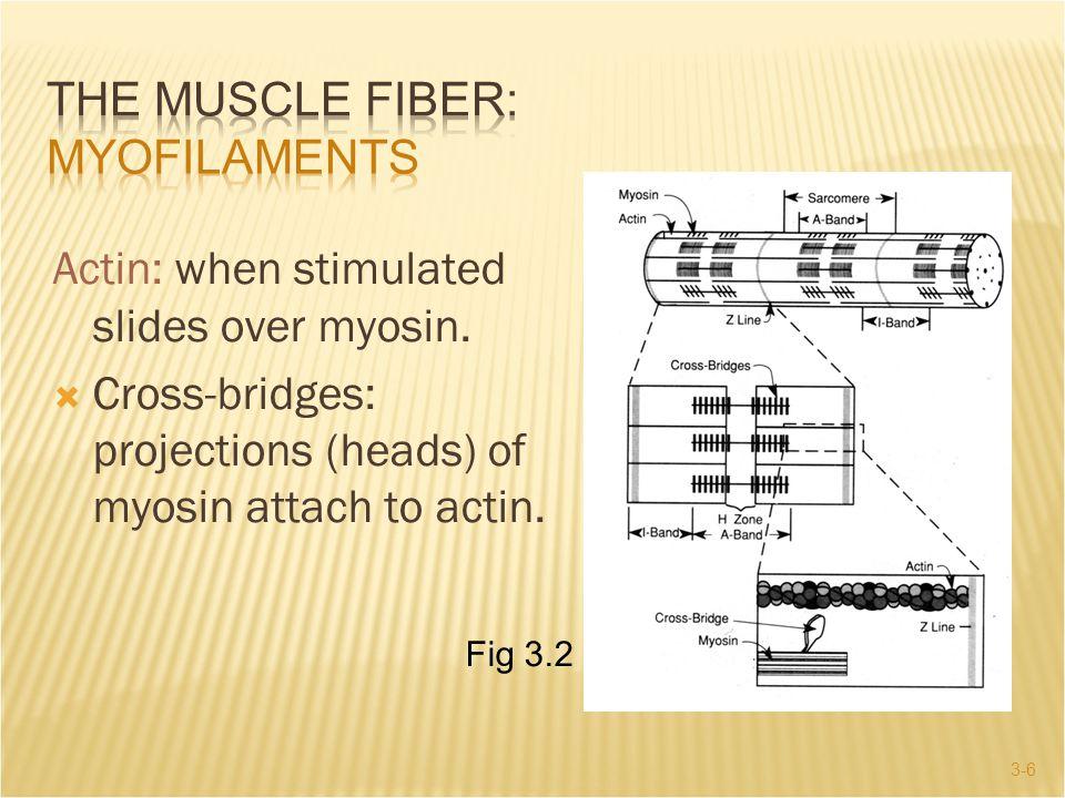 The Muscle Fiber: Myofilaments