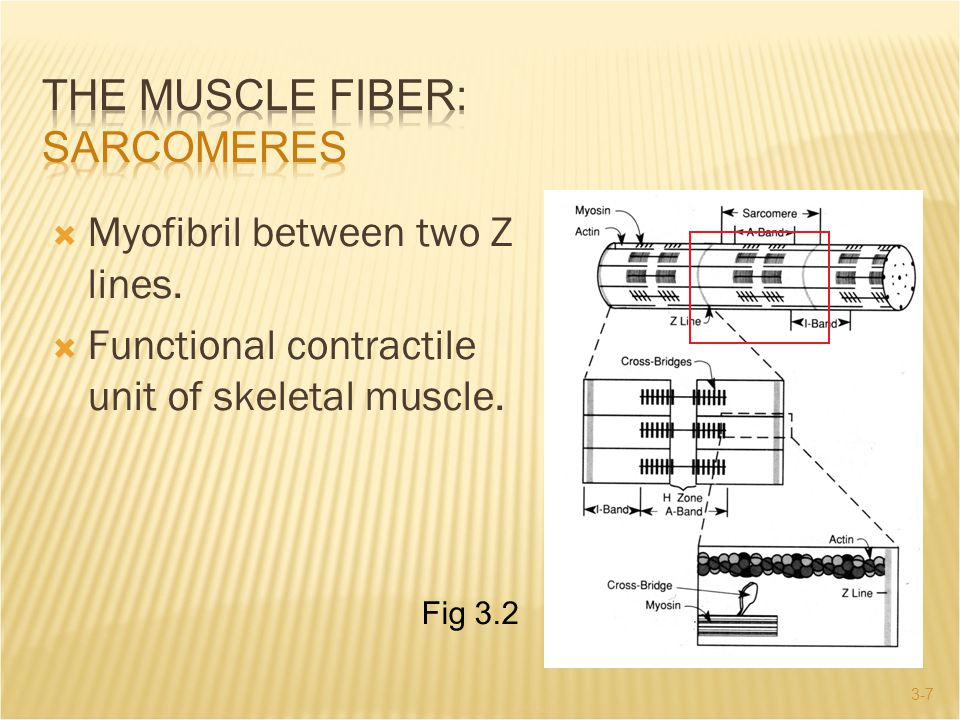 The Muscle Fiber: Sarcomeres