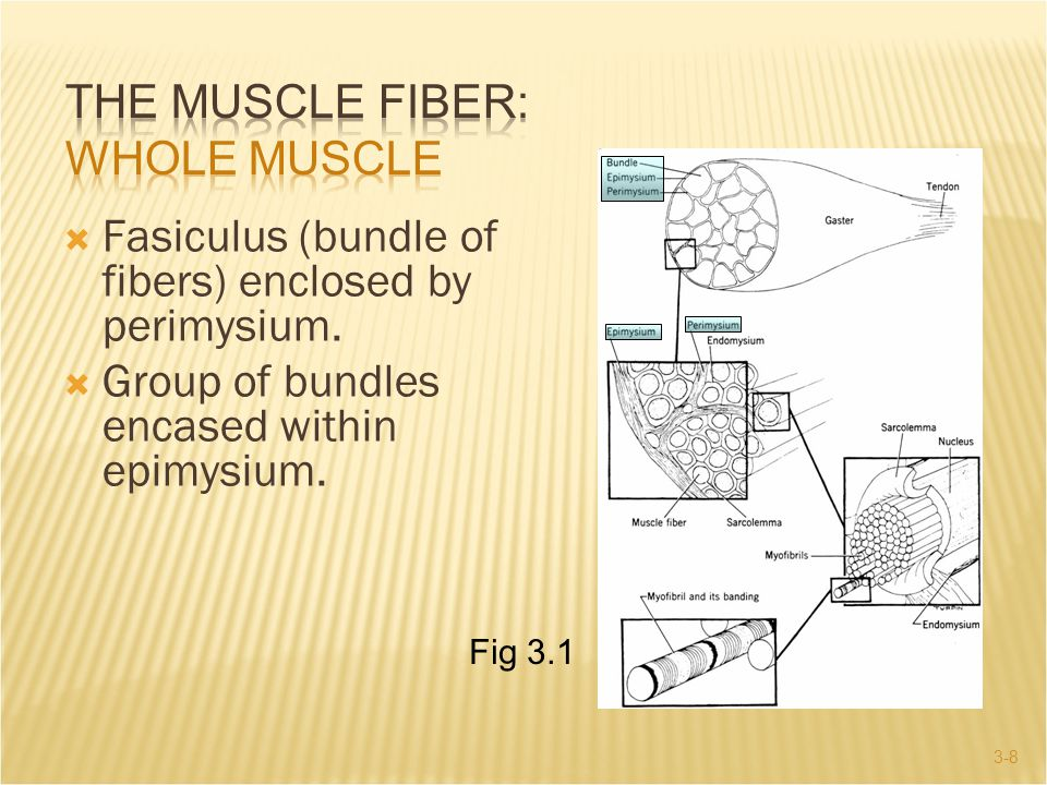 The Muscle Fiber: Whole Muscle