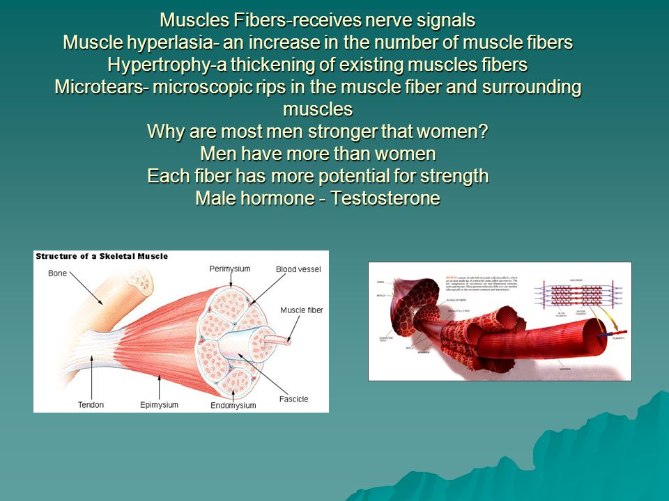 Muscles Fibers-receives nerve signals Muscle hyperlasia- an increase in the number of muscle fibers Hypertrophy-a thickening of existing muscles fibers Microtears- microscopic rips in the muscle fiber and surrounding muscles Why are most men stronger that women.