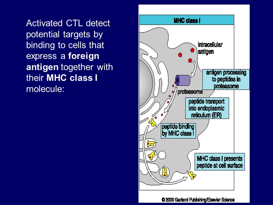 Activated CTL detect potential targets by binding to cells that express a foreign antigen together with their MHC class I molecule: