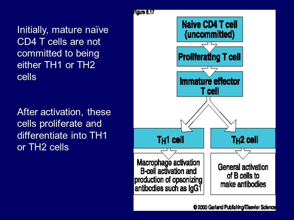 Initially, mature naïve CD4 T cells are not committed to being either TH1 or TH2 cells