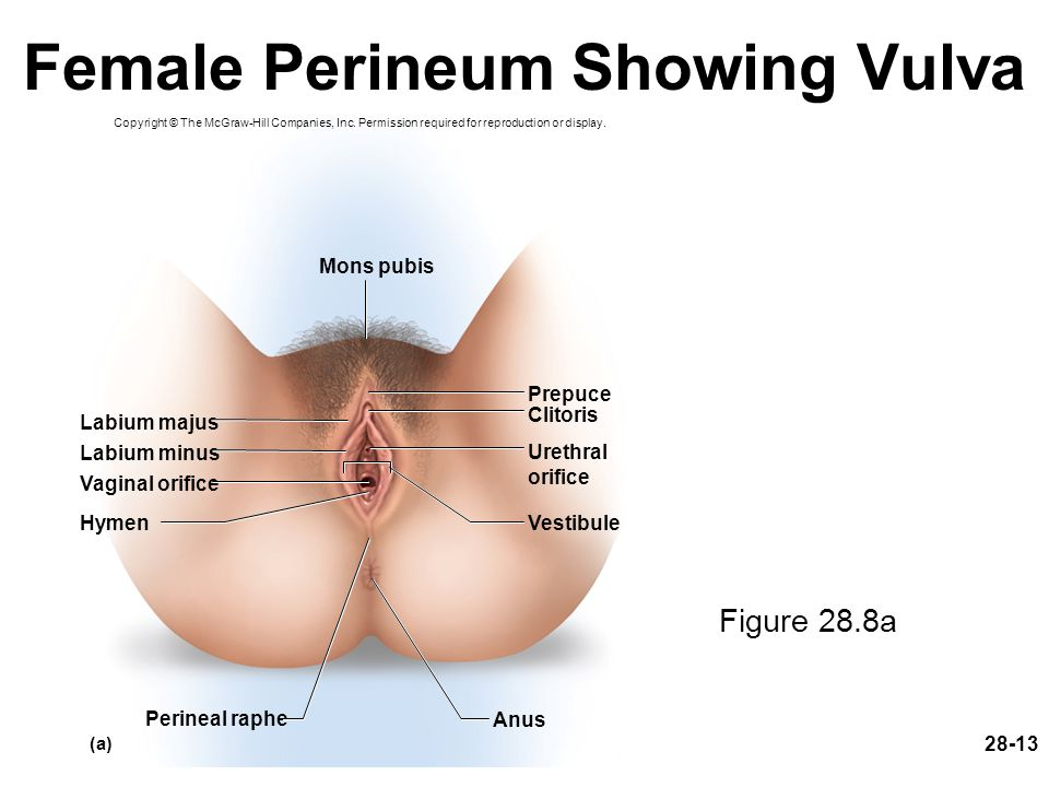 Female Perineum Showing Vulva