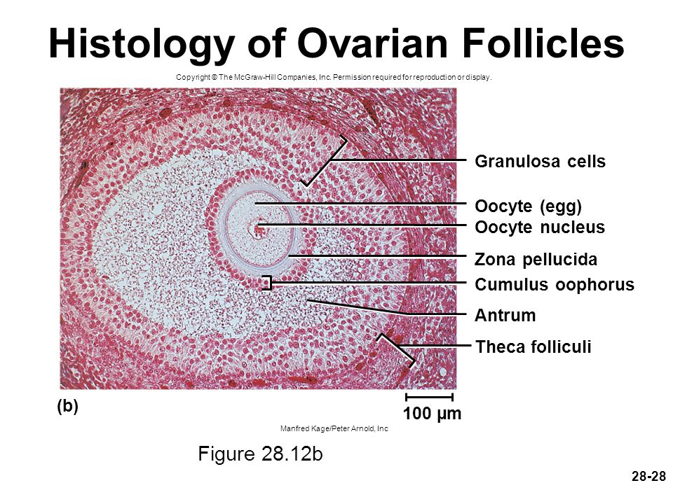 Histology of Ovarian Follicles