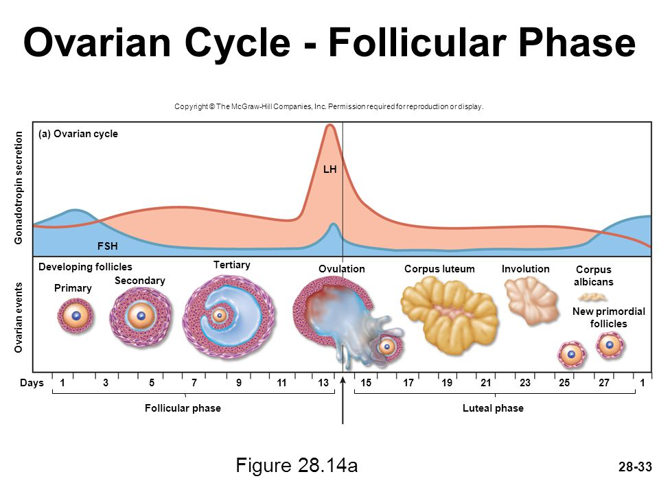 Ovarian Cycle - Follicular Phase
