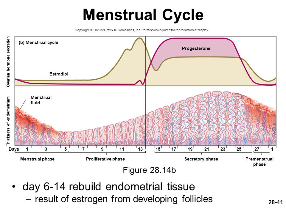 Menstrual Cycle day 6-14 rebuild endometrial tissue