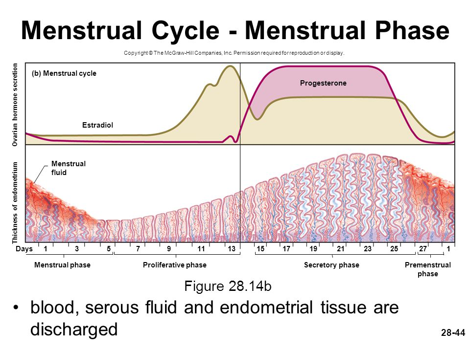 Menstrual Cycle - Menstrual Phase