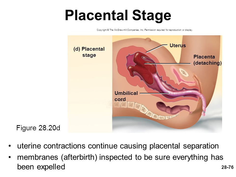 Placental Stage Copyright © The McGraw-Hill Companies, Inc. Permission required for reproduction or display.