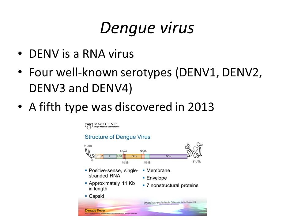 Dengue virus DENV is a RNA virus