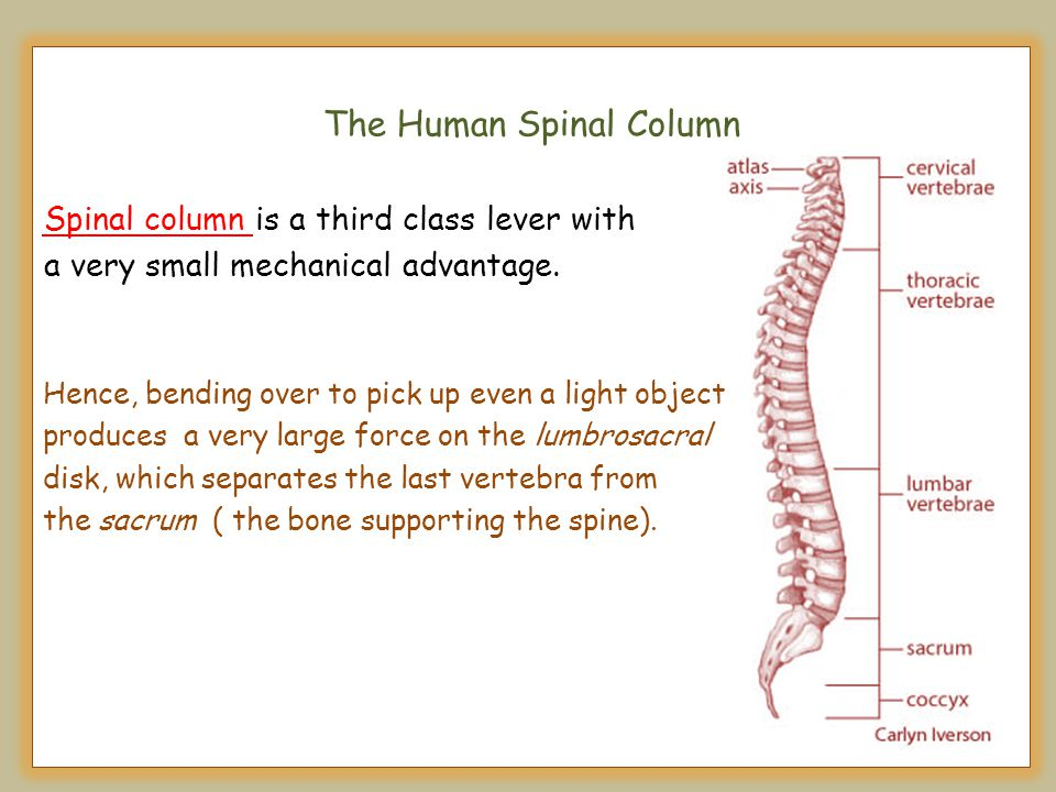 The Human Spinal Column