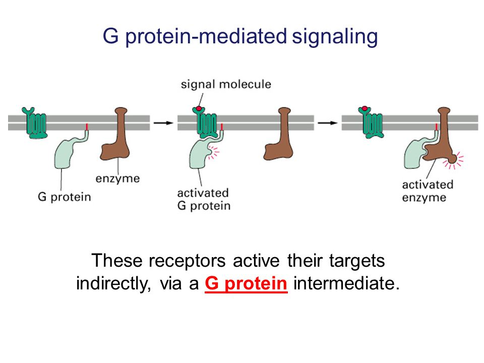 G protein-mediated signaling