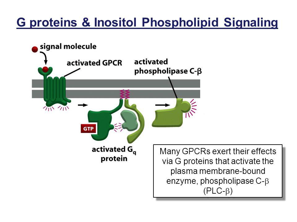 G proteins & Inositol Phospholipid Signaling