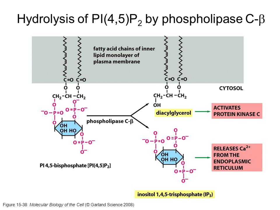 Hydrolysis of PI(4,5)P2 by phospholipase C-b