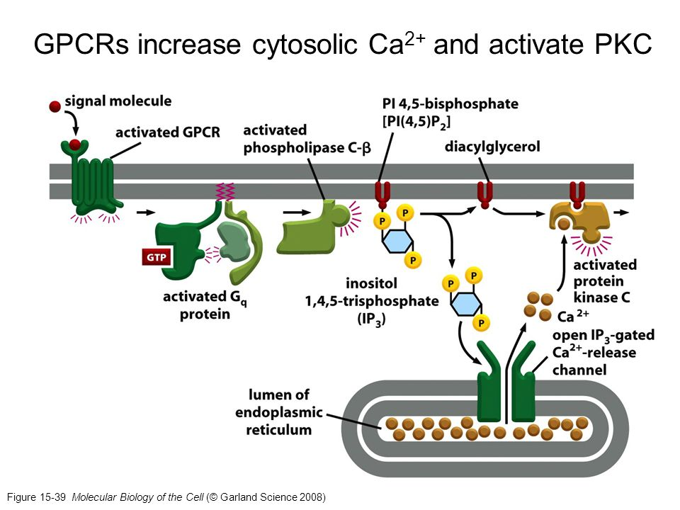 GPCRs increase cytosolic Ca2+ and activate PKC