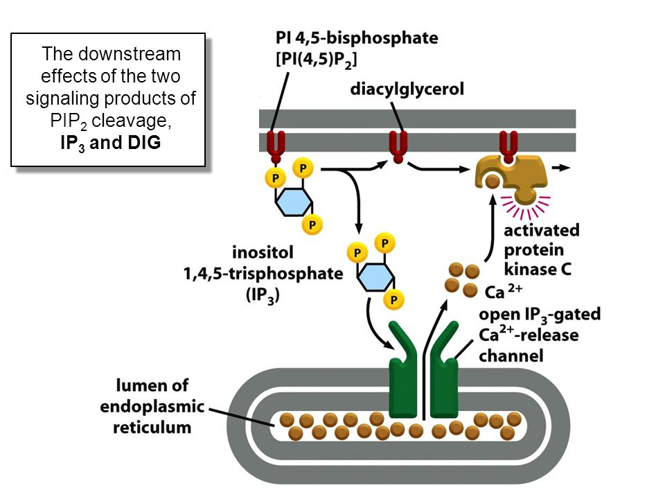 The downstream effects of the two signaling products of PIP2 cleavage, IP3 and DIG