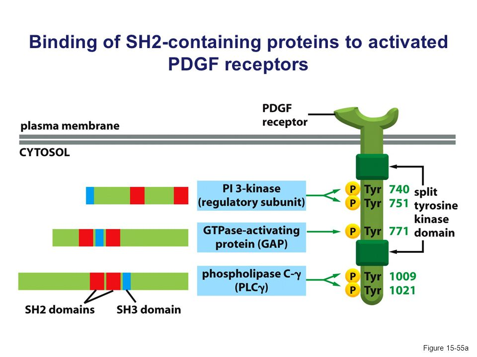 Binding of SH2-containing proteins to activated PDGF receptors