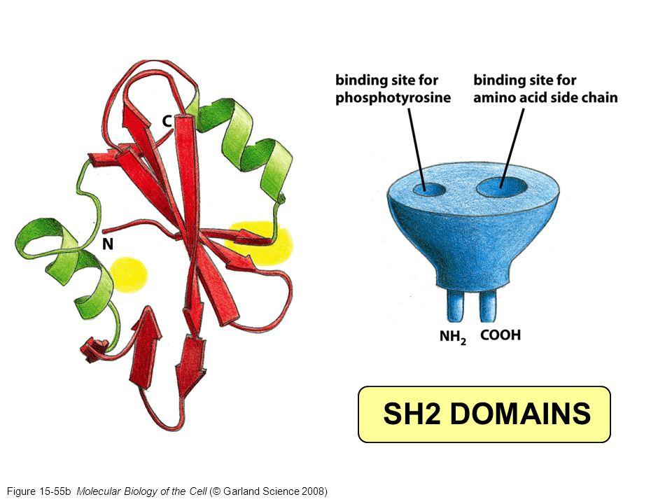 SH2 DOMAINS In ribbon: LH: Isoleu-binding, RHS: P-Y