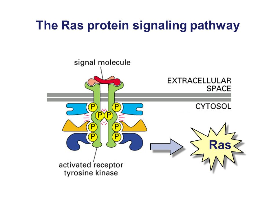 The Ras protein signaling pathway