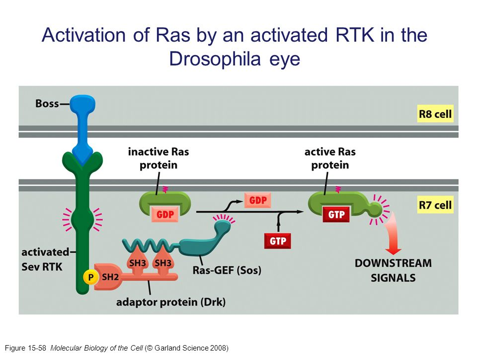 Activation of Ras by an activated RTK in the Drosophila eye
