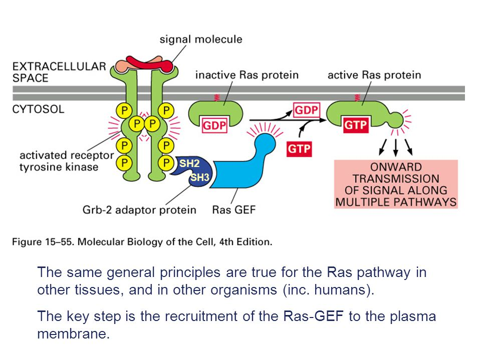 The key step is the recruitment of the Ras-GEF to the plasma membrane.