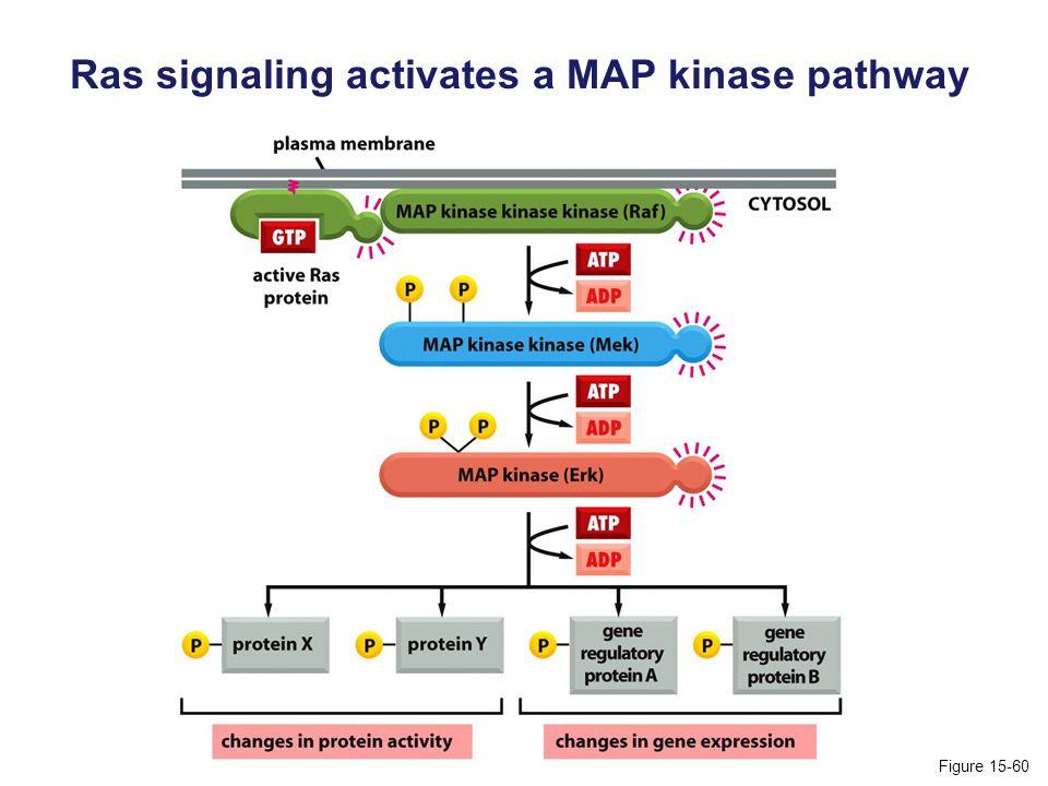 Ras signaling activates a MAP kinase pathway