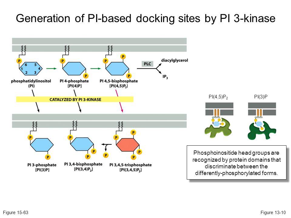 Generation of PI-based docking sites by PI 3-kinase