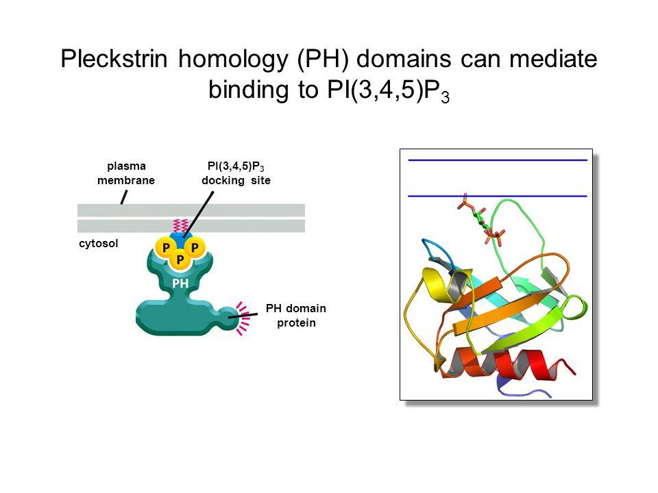 Pleckstrin homology (PH) domains can mediate binding to PI(3,4,5)P3