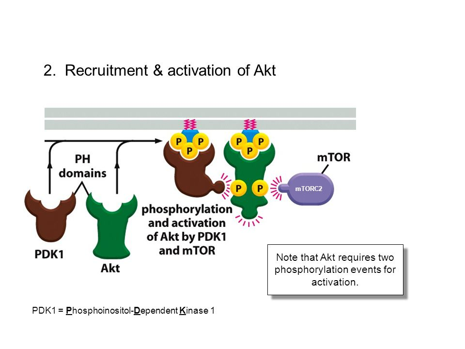 Note that Akt requires two phosphorylation events for activation.