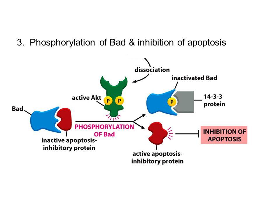3. Phosphorylation of Bad & inhibition of apoptosis