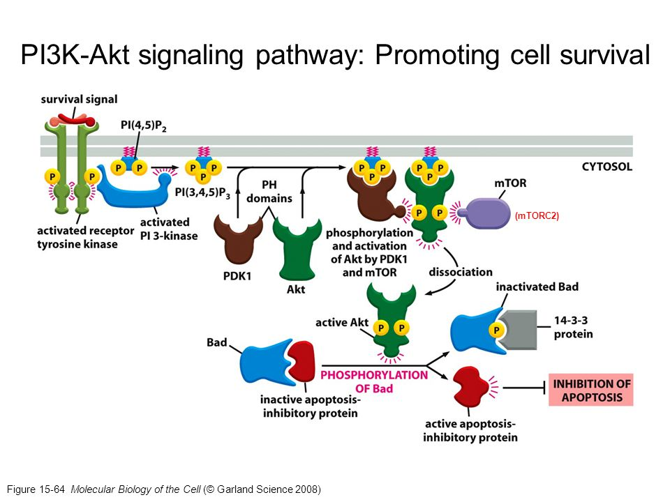 PI3K-Akt signaling pathway: Promoting cell survival