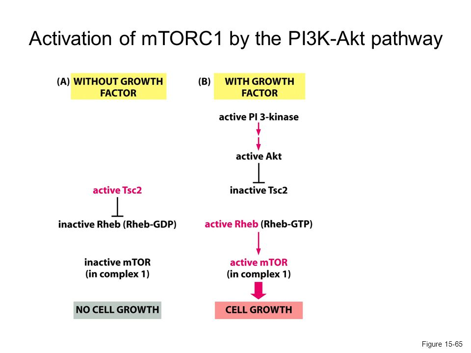 Activation of mTORC1 by the PI3K-Akt pathway