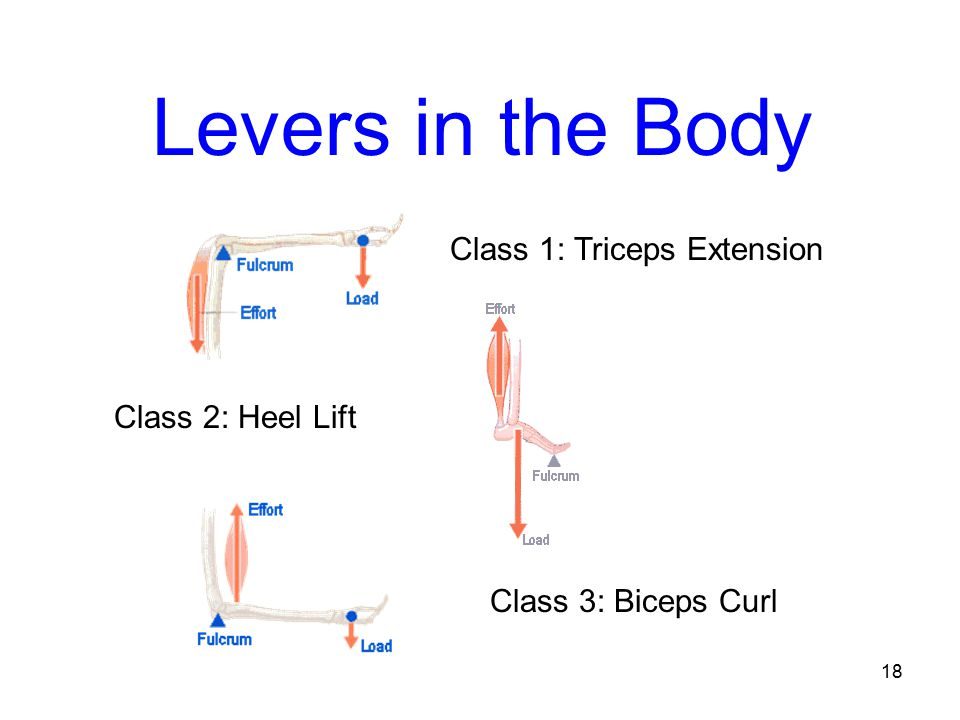 Levers in the Body Class 1: Triceps Extension Class 2: Heel Lift